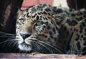 Леопард по кличке Николай