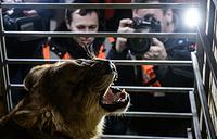 Из аэропорта рейсом в Крым отправлена львица Лола, которая была спасена от усыпления челябинским реабилитационным центром защиты диких животных