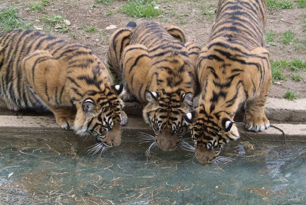 The Sumatran tiger can only be found on the island of Sumatra.  It is listed as a distinct subspecies, as there are from 300 to 500 specimen left