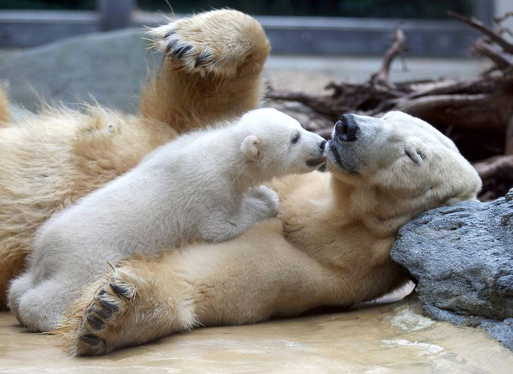Photo: Polar bear cub with his mother at the open-air enclosure of the zoo in Wuppertal, Germany