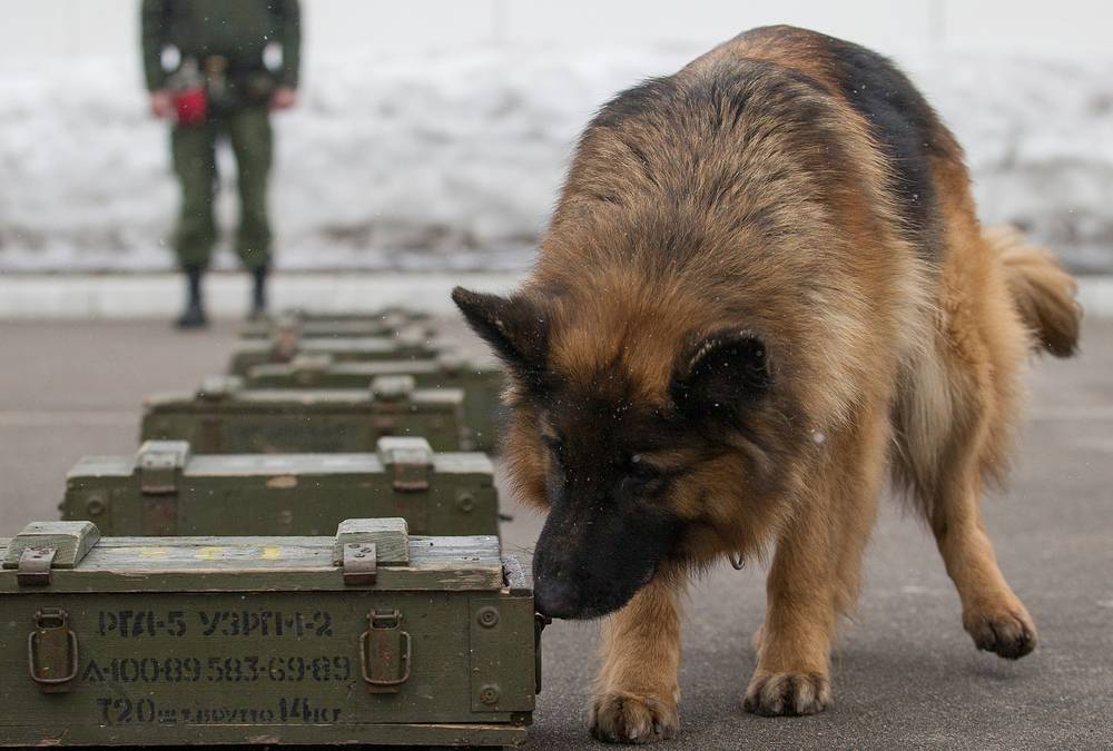 German shepherd during training to find explosives
