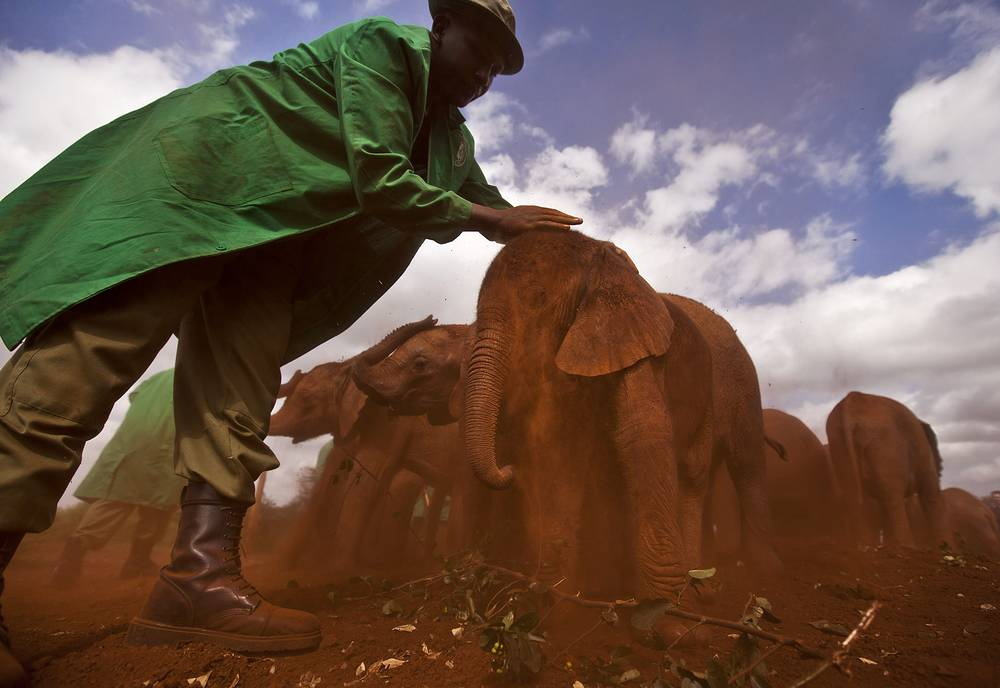 Male African elephants are the largest extant terrestrial animals. Photo: Two-month-old orphaned baby elephant being given a dust-bath in the red earth in the David Sheldrick Wildlife Trust Elephant Orphanage in Nairobi, Kenya