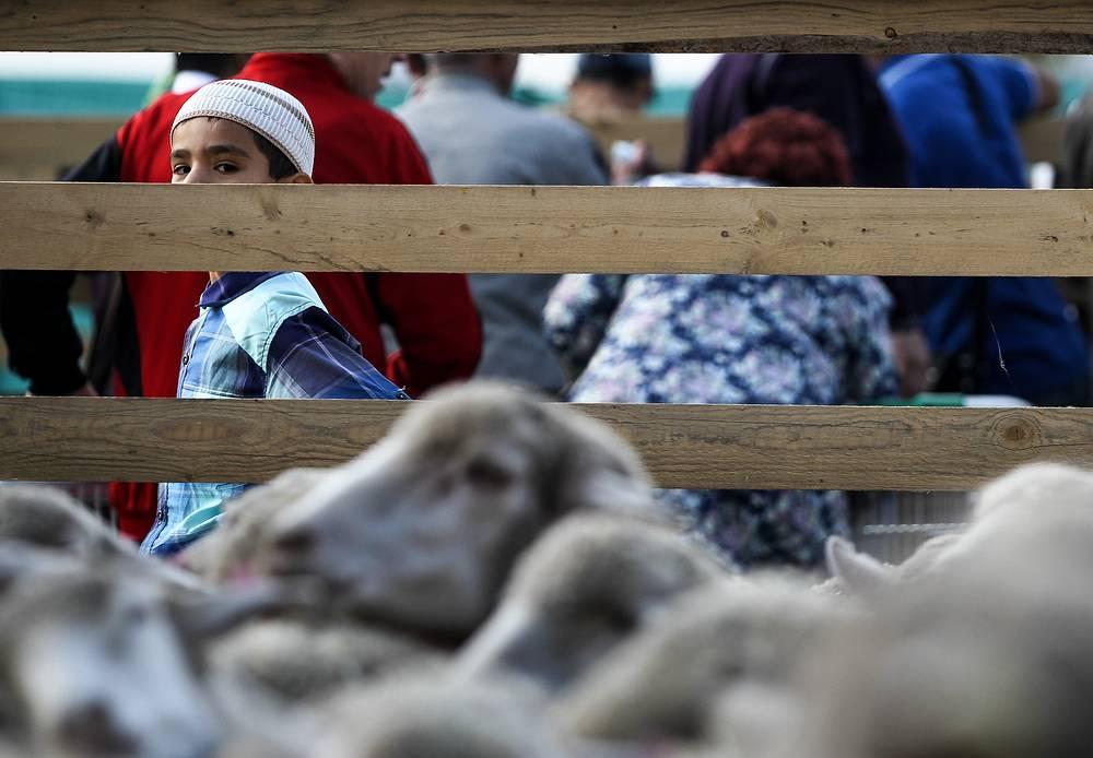 Sacrificial sheep seen on Eid al-Adha in Kazan