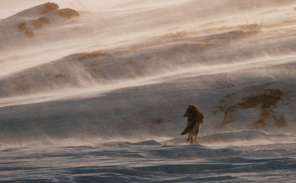 Snowstorm, by Ivan Kislov (Magadan). Photo: Lone wolf, Bilibino district, Chukotka