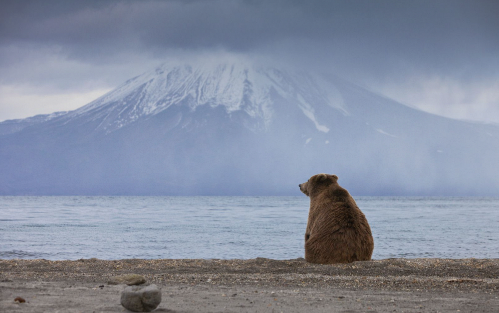 Zen, by Sergei Krasnoshchekov. Photo: Bear on the shore of Kurile lake before hibernation, Kamchatka