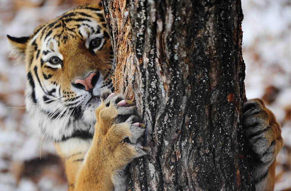 Siberian tiger, or Amur tiger, inhabites mainly the Sikhote Alin mountain region with a small population in southwest Primorye Province in the Russian Far East.  In 2005, there were 331–393 adult and subadult Amur tigers in this region