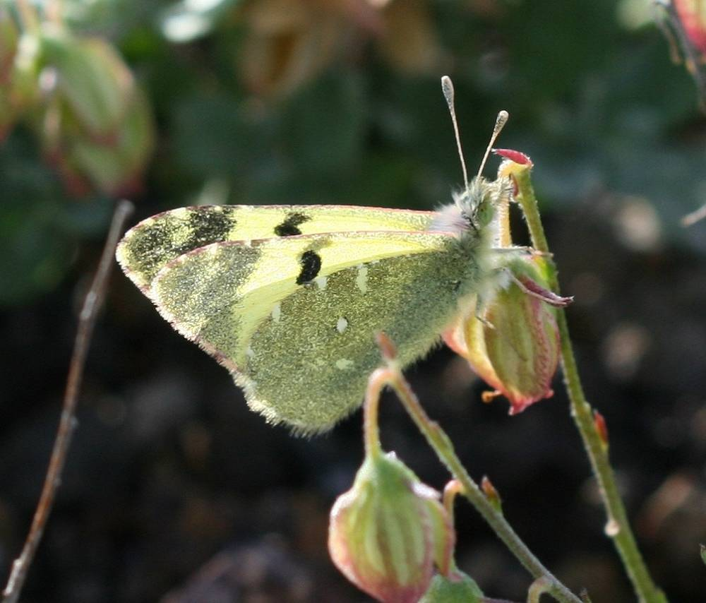 Pieridae, a large family of butterflies containing about 1,100 species, mostly from tropical Africa and tropical Asia is in the IUCN Red List of vulnerable species