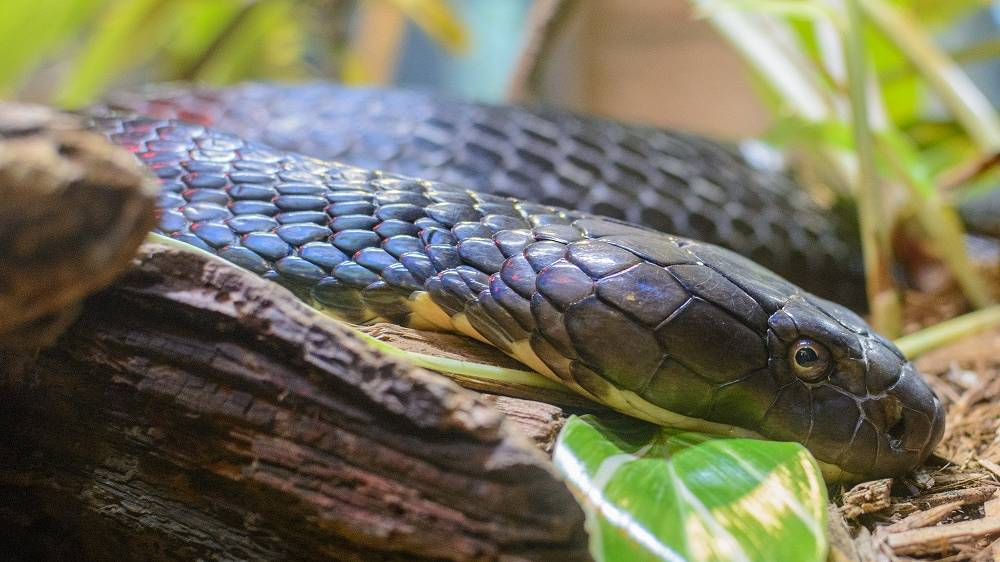 The king cobra can be found predominantly in forests from India through Southeast Asia. This species is the world's longest venomous snake. The king cobra is in the IUCN Red List of vulnerable species