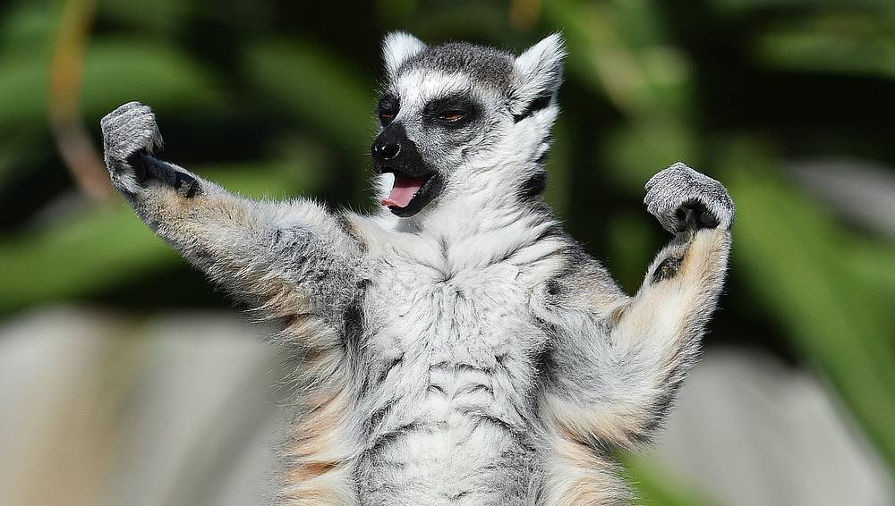 A ring-tailed lemur sunbakes at Melbourne Zoo, Australia, December 21