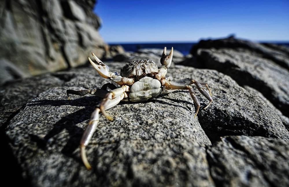 Crab in Far East Marine Reserve