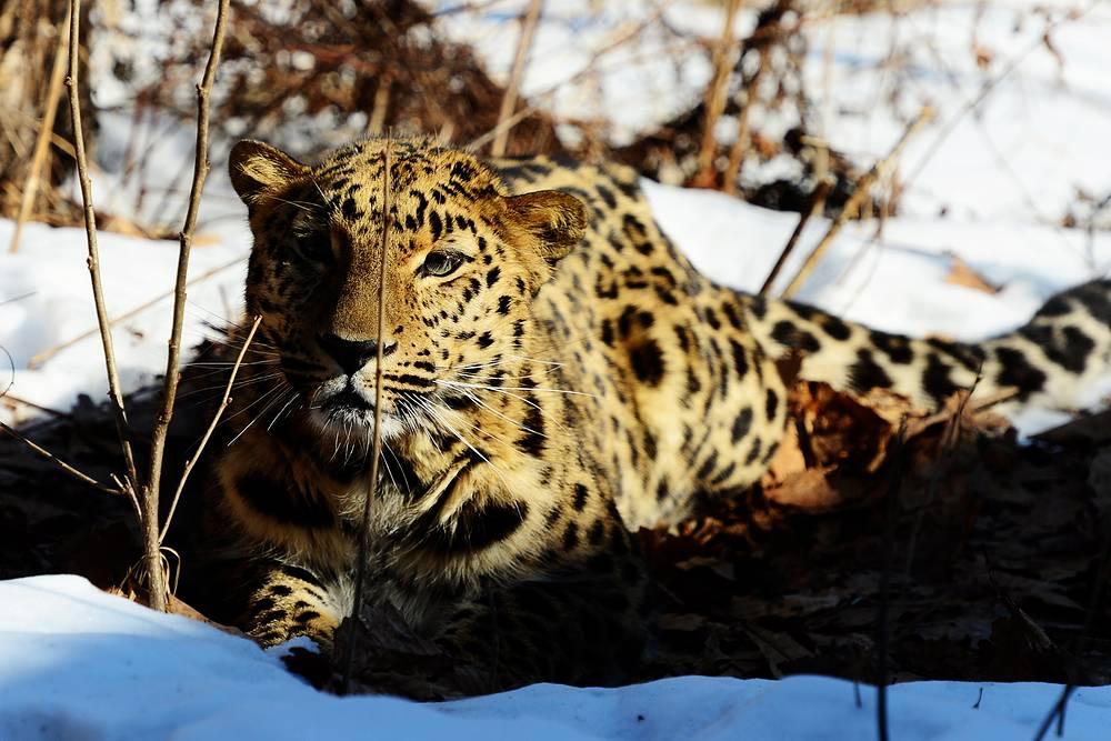 An Amur leopard called Velikoros