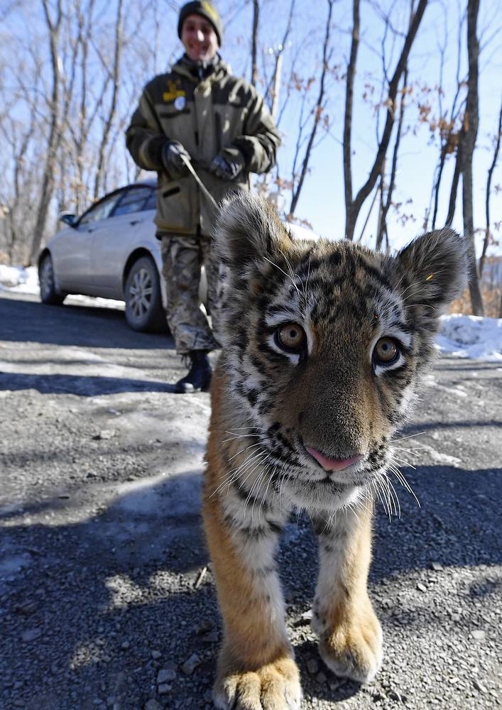 Walking a Siberian tiger cub, Sherkhan, at the Primorye Safari Park. The cub was born 18 September 2016 to Siberian tigers Amur and Ussuri in the Primorye Safari Park. Tiger Amur has been the focus of Russian mass media after he refused to kill and befriended a goat given to him as food
