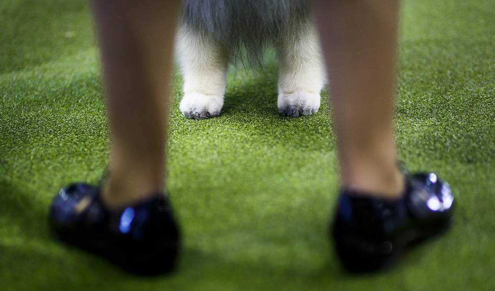 A Keeshonden faces his handler during the Westminster Dog Show in New York