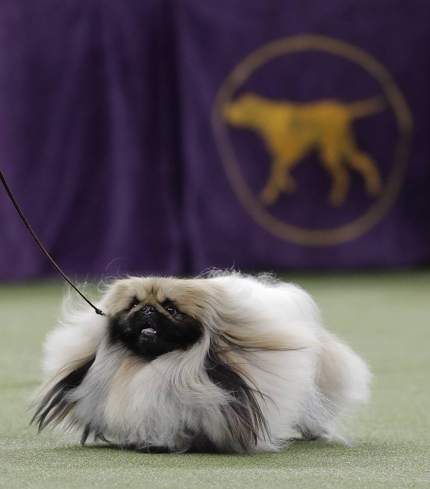 Chuckie, a Pekingese, walks behind his handler during the Best in Show competition
