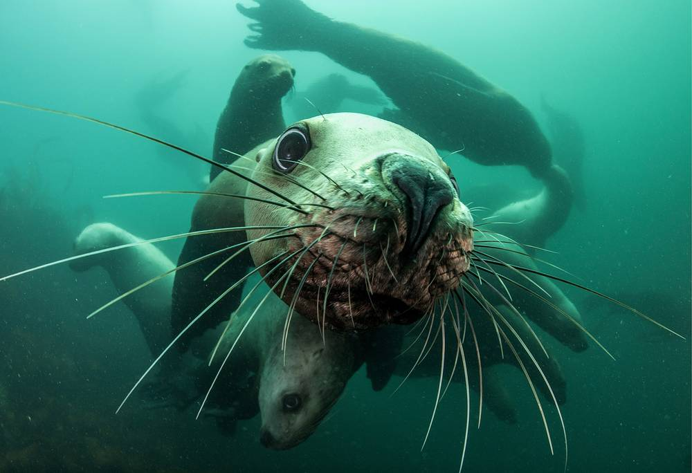 Steller sea lions in the Bay of Zheleznaya in the Avacha Gulf in the south of the Kamchatka Peninsula, Russia, July 21