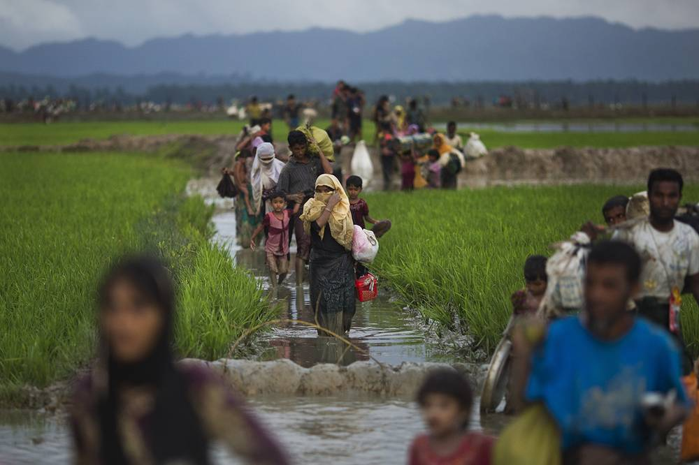 Myanmar's Rohingya ethnic minority members walk through rice fields after crossing over to the Bangladesh side of the border