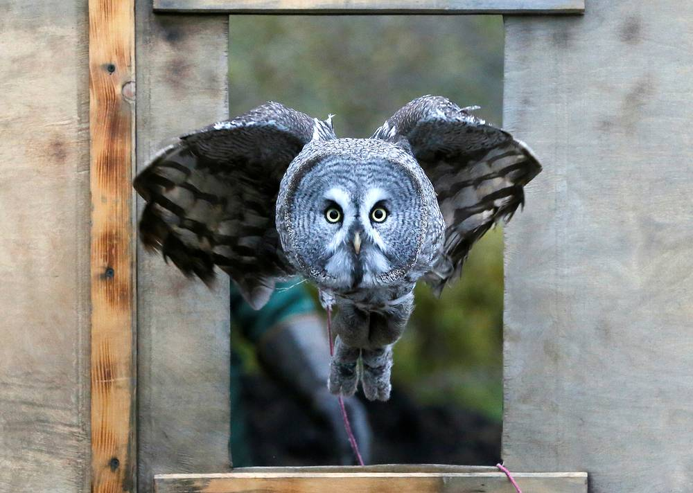 A 1.5-year-old great gray owl, flies through a window during a training session which is a part of Royev Ruchey Zoo's programme of taming wild animals for research, education and interaction with visitors, in a suburb of the Siberian city of Krasnoyarsk, Russia, October 17