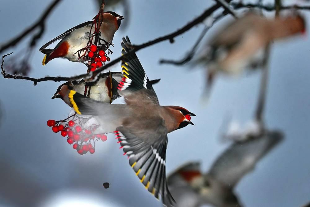 Bohemian waxwings eating rowan berries, November 21