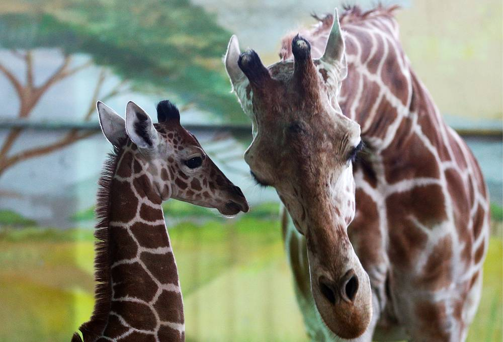 Giraffe called Iva with her newborn calf in an enclosure at the Kaliningrad Zoo, Russia, November 30
