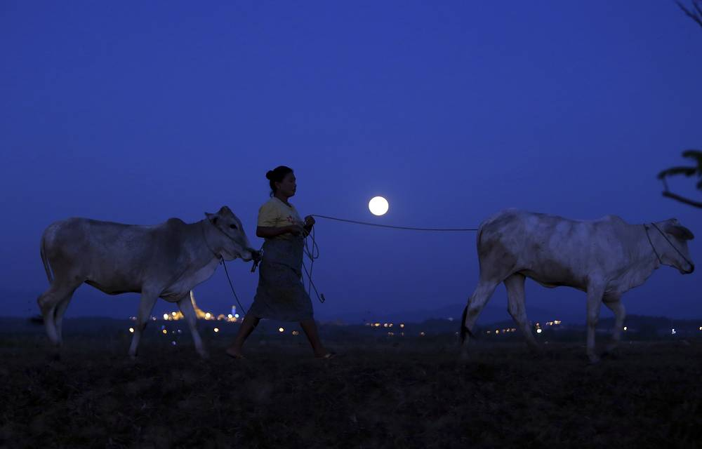 Supermoon is seen in the sky while a farmer walks with cows in Naypyitaw, Myanmar