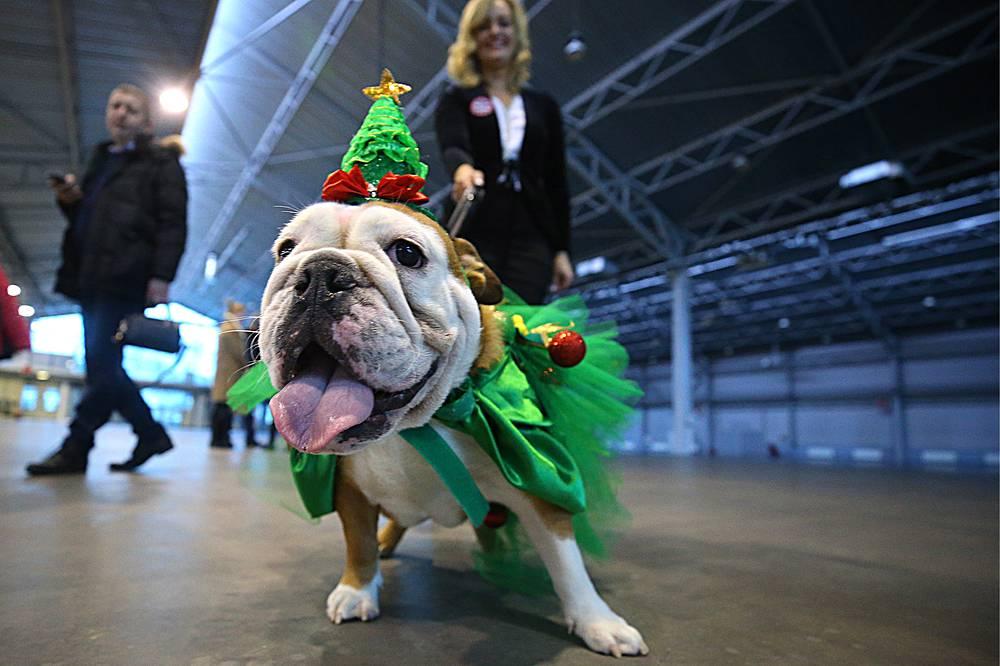Festively dressed British bulldog seen during December Fest, Saint Petersburg, Russia, December 23