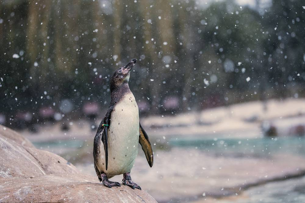 A young Humboldt penguin enjoying snow flurry on Penguin Beach at ZSL London Zoo, London, Britain
