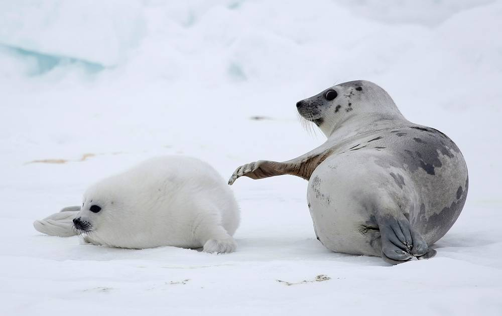 A mother seal plays with a baby seal on the ice of the White Sea in Arkhangelsky region, Russia