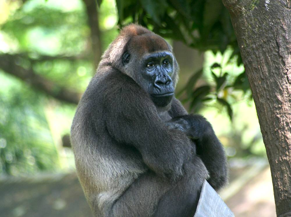 While all western gorillas are critically endangered, the Cross River gorilla is the most endangered of the African apes. A 2014 survey estimated that less than 250 mature individuals were left in the wild