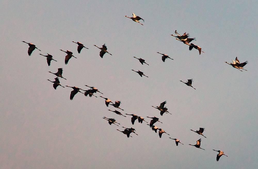 A flock of cranes flying over the village of Vorontsovka, Krasnoperekopsky district