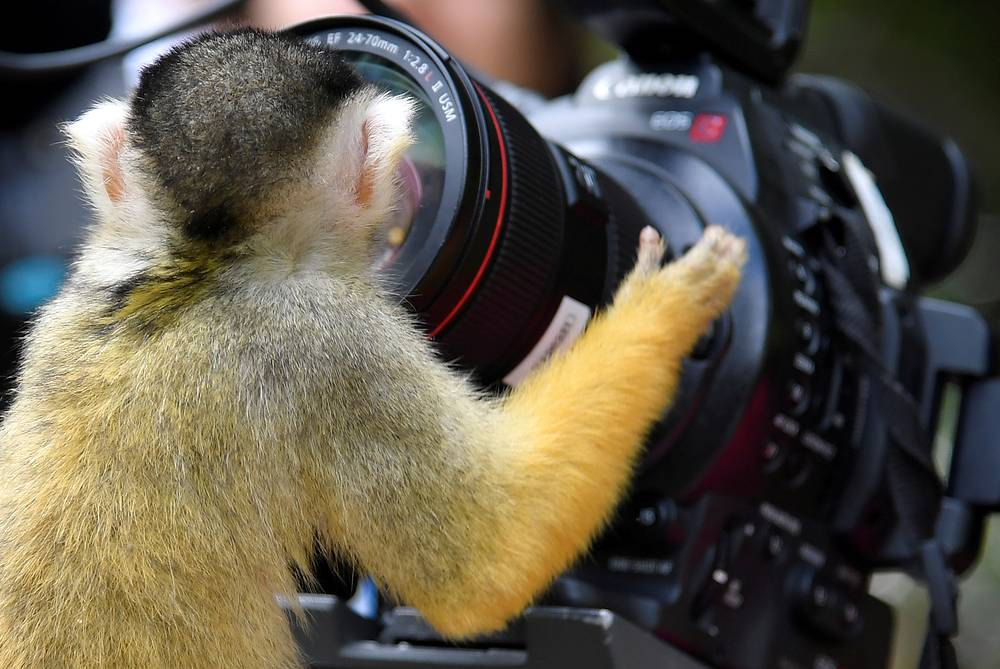 A black-capped squirrel monkey looks into a broadcast crews camera and lens at London Zoo in London, June 27