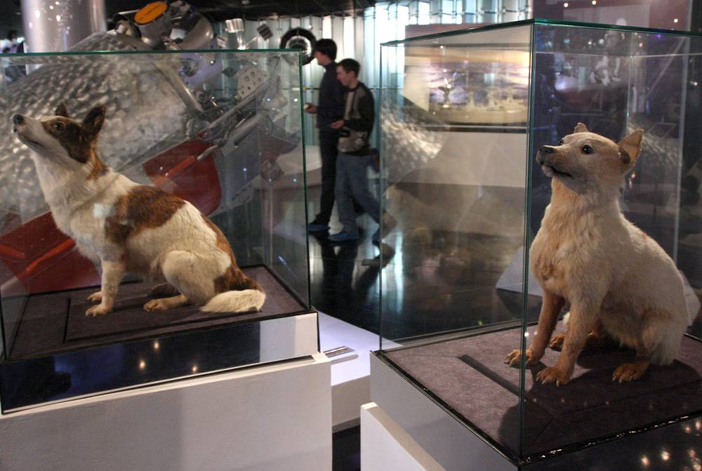 Strelka and Belka, stuffed and mounted at the Memorial Museum of Cosmonautics in Moscow