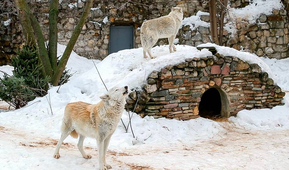 Alaskan tundra wolves are seen in their enclosure at the zoo