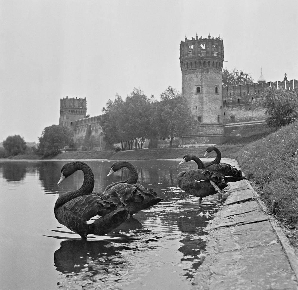 Черные лебеди в пруду у Новодевичьего монастыря, 1969 год