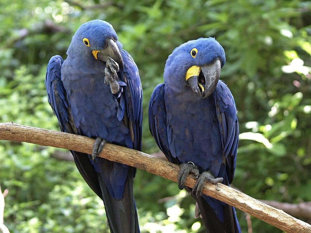 Гиацинтовый ара - попугай, который легко приручается и уживается с человеком. Продолжительность жизни птицы - 65-90 лет. Красивое экзотическое животное можно приобрести за $12-15 тыс.