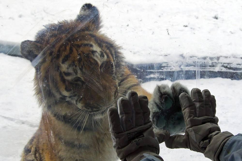 Ареал амурского тигра сосредоточен в охраняемой зоне по берегам рек Амур и Уссури в Хабаровском и Приморском краях. Амурский тигр - один из самых малочисленных подвидов тигра