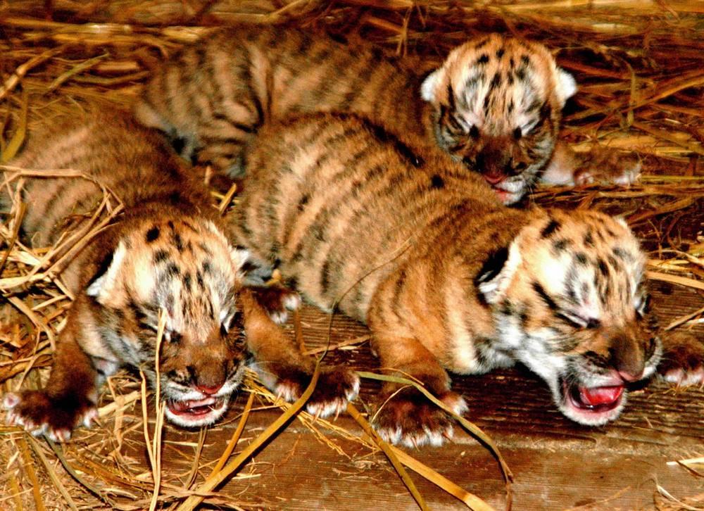 Китайский тигр находится на грани исчезновения - подвид попал в десятку животных мира, которым грозит вымирание в ближайшее время. Всего осталось не более 60 особей этого подвида, все они содержатся в неволе на территории Китая