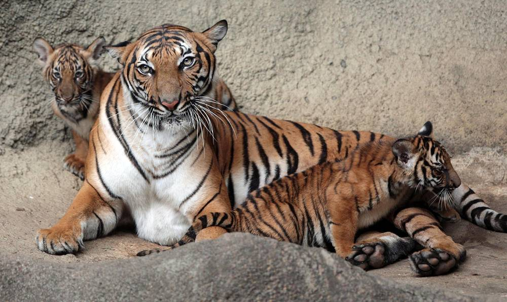 До 2004 года популяция малайского тигра была отнесена к индокитайскому, однако в ходе исследования он был выделен в отдельный подвид. Ареал распространения - малайзийская часть острова Малакка