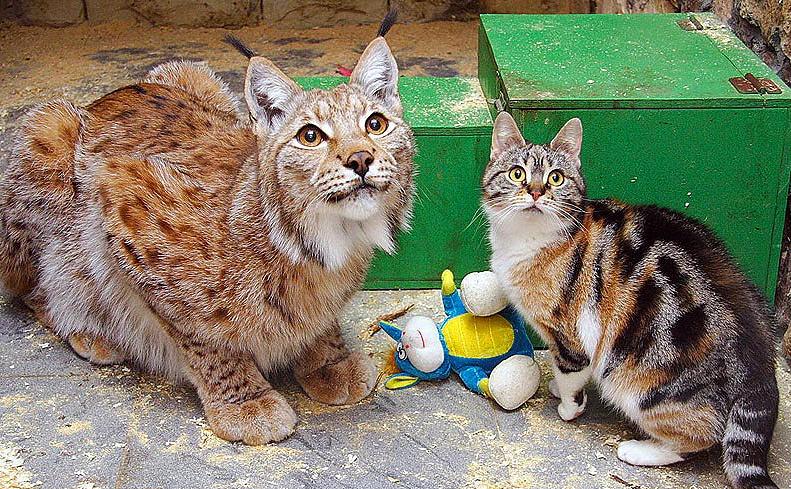 Обыкновенная рысь Линда и домашняя кошка Дуся