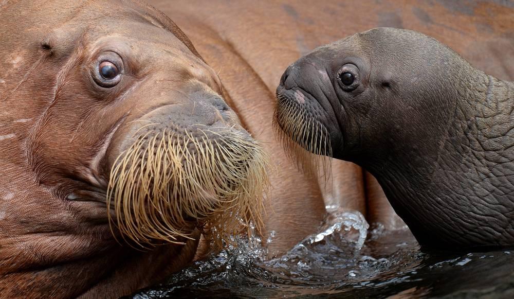 Морж с детенышем в зоопарке Хагенбек в Германии