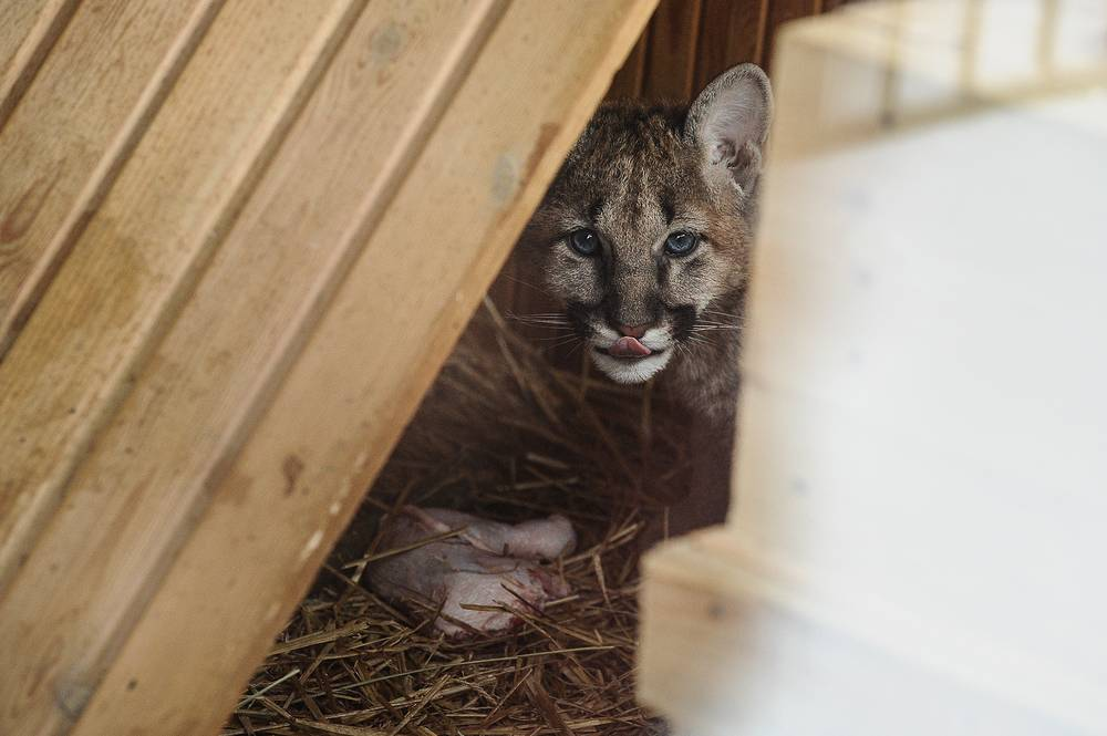 Детеныш пумы. Зоопарк в Екатеринбурге