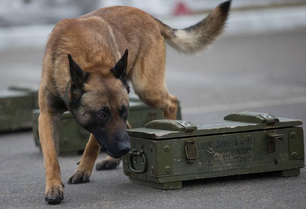 Бельгийская овчарка малинуа во время тренировки по поиску взрывчатки. Установлено, что обученная собака способна учуять взрывчатые вещества, даже если они закопаны в землю на глубину 60 сантиметров