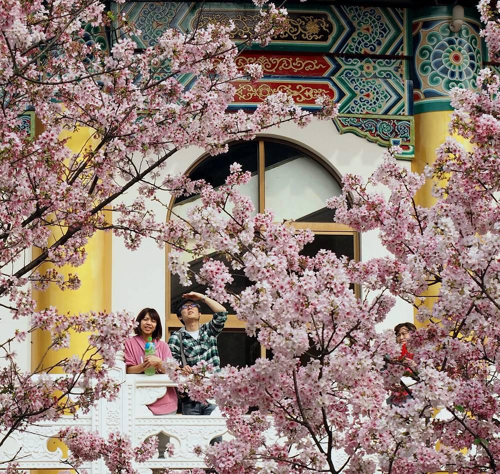 Цветение сакуры при даосском храме Tianyuan Gong в Тамсуи, Тайвань