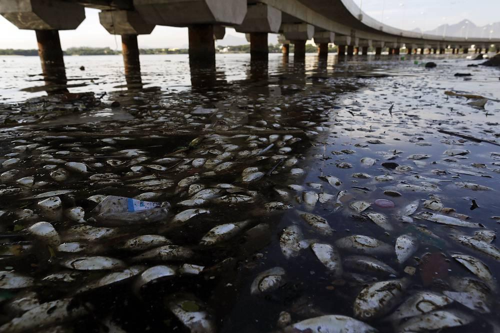 Мертвая рыба на берегу залива Гуанабара в Рио-де-Жанейро. У пляжа Фламенго, где 2016 году будут проходить олимпийские регаты и соревнования по виндсерфингу, обнаружены супербактерии, приведшие к загрязнению воды и гибели рыбы
