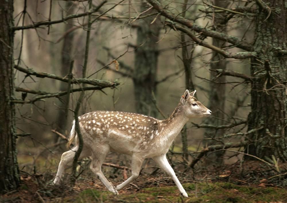 Беловежская пуща, расположенная на территории Польши и Белоруссии, является самым большим лесом в центральной Европе и представляет собой остатки реликтового первобытного равнинного леса