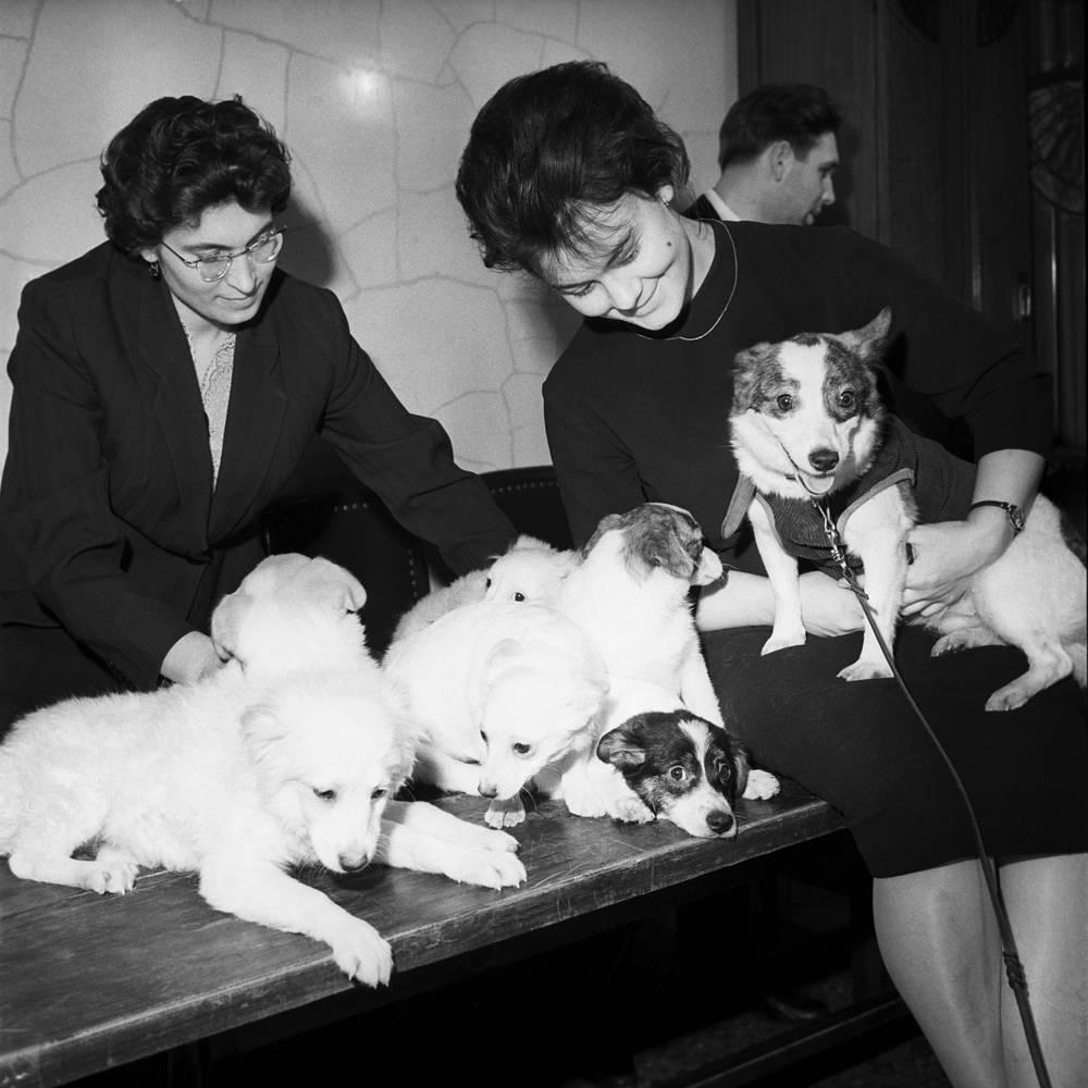Ученые демонстрируют собаку-космонавта Стрелку со своим потомством на пресс-конференции в Академии наук СССР, 1961 год