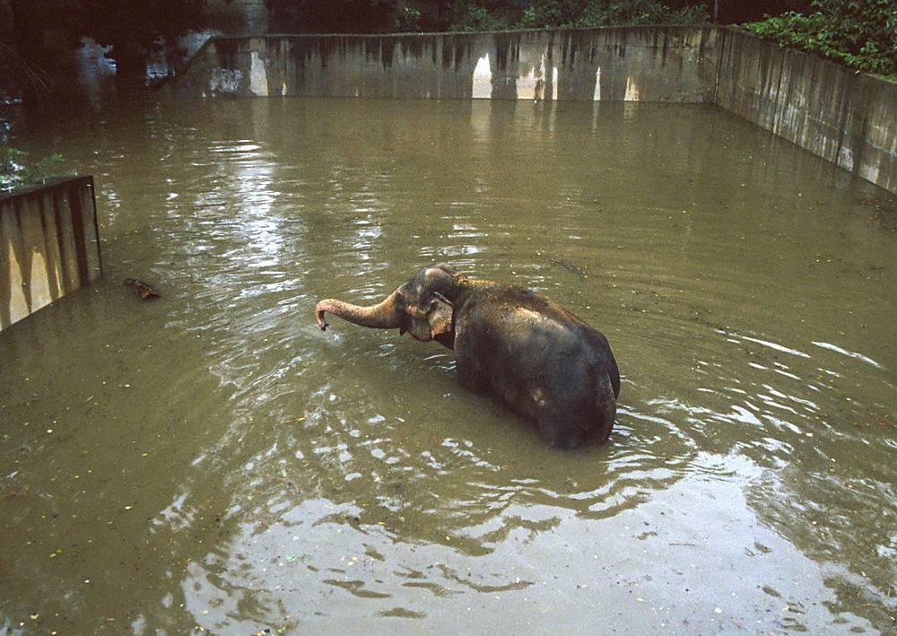 Работникам зоопарка Праги пришлось умертвить 35-летнего слона Кадира, так как его невозможно было эвакуировать из залитого водой павильона. Высота стен вольера составляла 4 метра, но вода добралась и туда. Слон оказался по уши в воде. Чехия,13 августа 2002 года