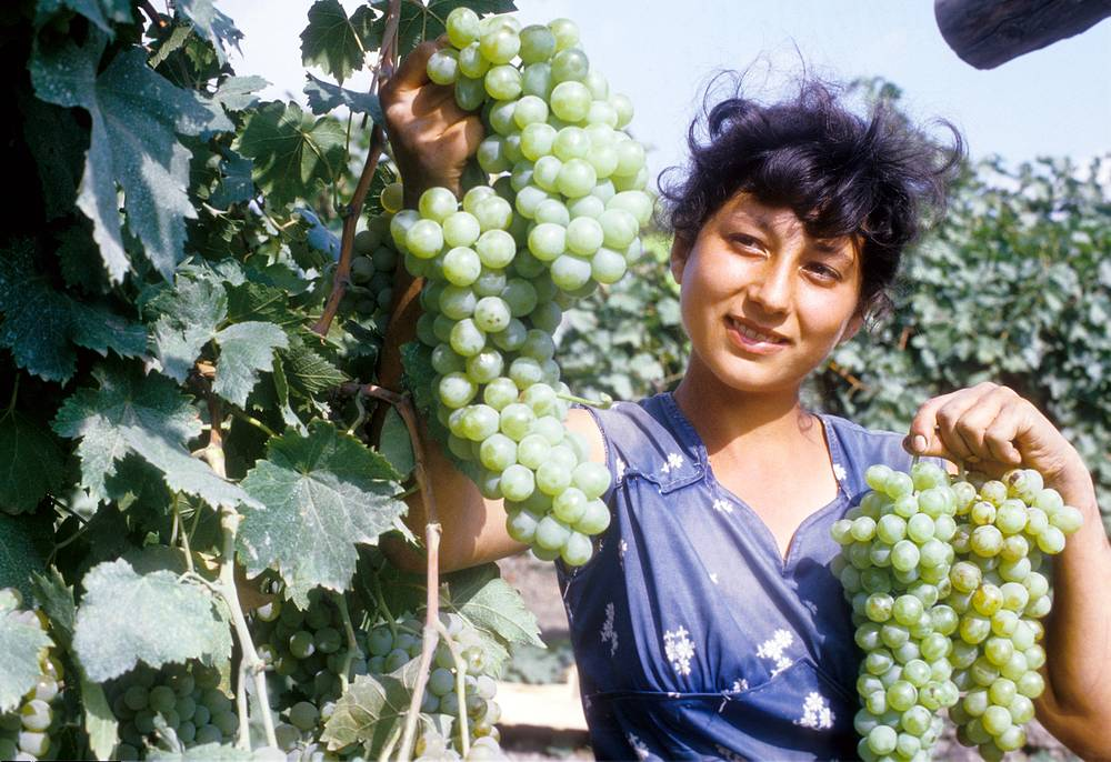 Дагестанская АССР. Сборщица винограда Марьям Ярахмедова, 1984 год