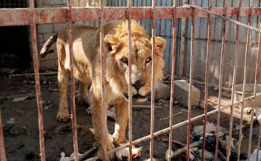 Лев Симба в разрушенном зоопарке Мосула, февраль 2017 года.