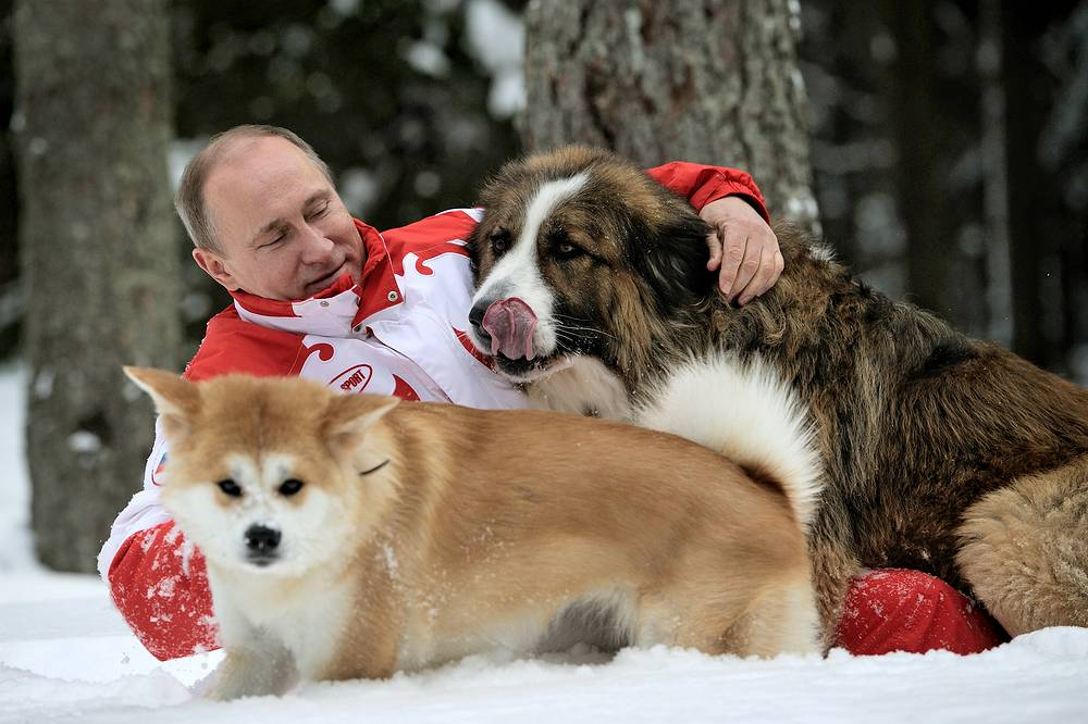 Президент России Владимир Путин во время прогулки с подаренными ему собаками — болгарской овчаркой Бафaи и акита-ину Юмэ — в Подмосковье, 2013 год