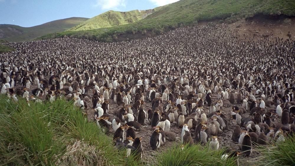 Антарктида. Пингвины Gentoo (на снимке) - обитатели приантарктических островов